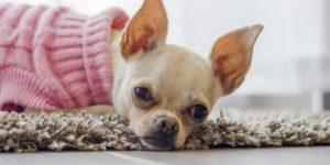 狗狗耳朵疾病
